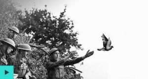 1914-1918-pigeons